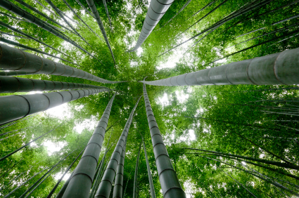 chinese-bamboo-tree