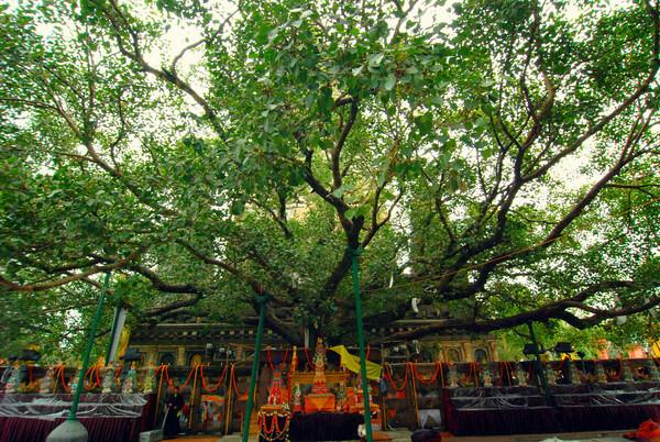 bodhi tree photo